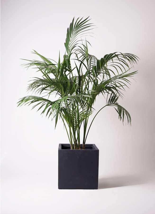 観葉植物 ケンチャヤシ 10号 ベータ キューブプランター 黒 付き