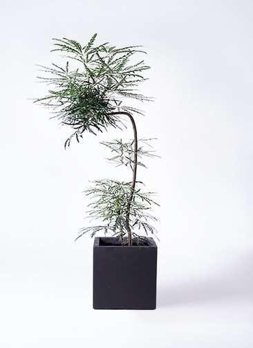 観葉植物 グリーンアラレア 8号 曲り(L字) ベータ キューブプランター 黒 付き