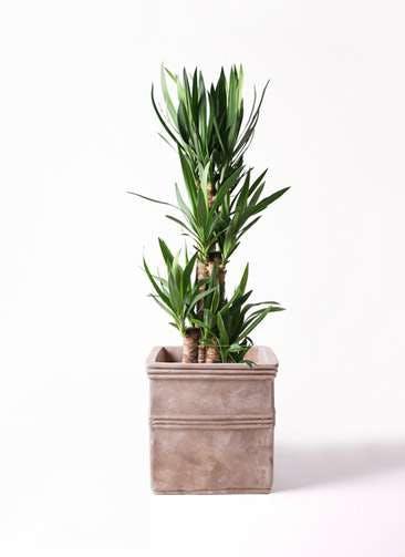 観葉植物 ユッカ 8号 ノーマル テラアストラ カペラキュビ 赤茶色 付き
