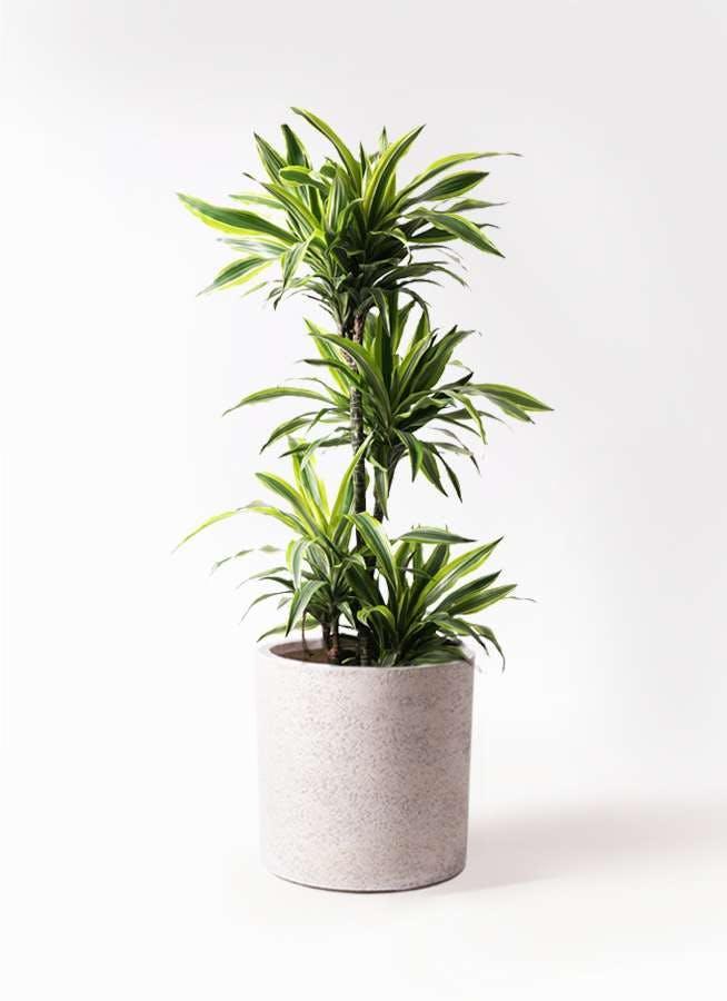 観葉植物 ドラセナ ワーネッキー レモンライム 10号 サンディ シリンダー 白 付き
