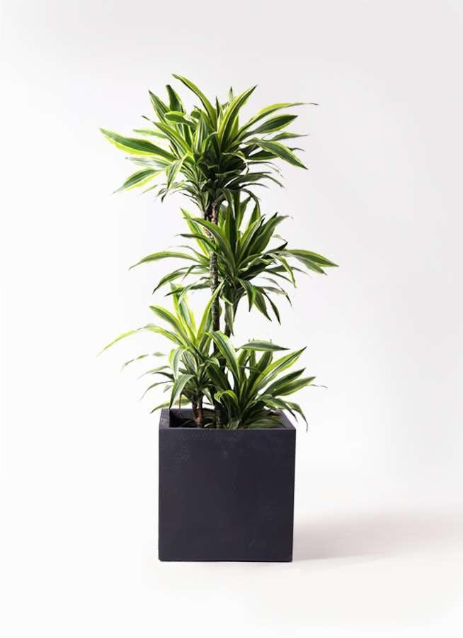 観葉植物 ドラセナ ワーネッキー レモンライム 10号 ベータ キューブプランター 黒 付き