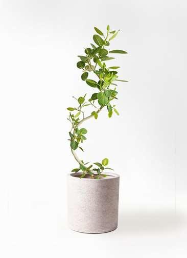 観葉植物 フィカス ベンガレンシス 10号 曲り サンディ シリンダー 白 付き