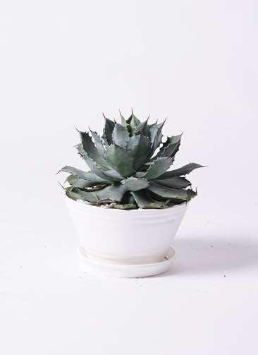 観葉植物 アガベ 9号 雷神 プラスチック鉢