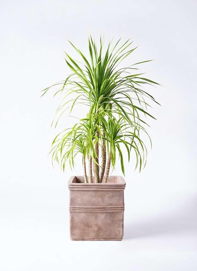観葉植物 ドラセナ カンボジアーナ 8号 テラアストラ カペラキュビ 赤茶色 付き