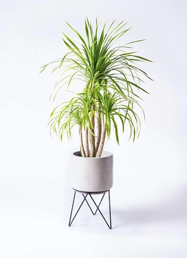 観葉植物 ドラセナ カンボジアーナ 8号 ビトロ エンデカ クリーム アイアンポットスタンド ブラック 付き