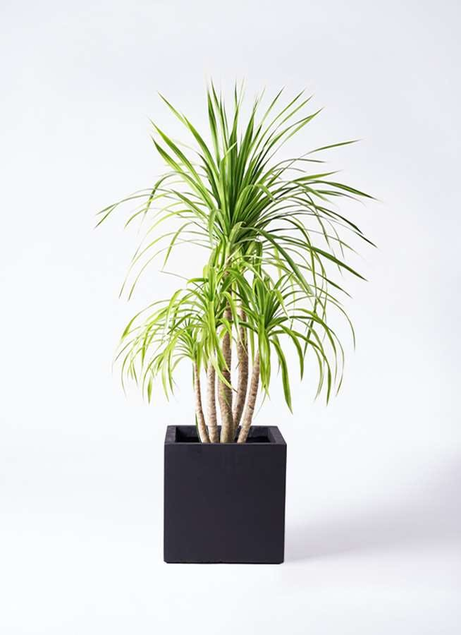 観葉植物 ドラセナ カンボジアーナ 8号 ベータ キューブプランター 黒 付き