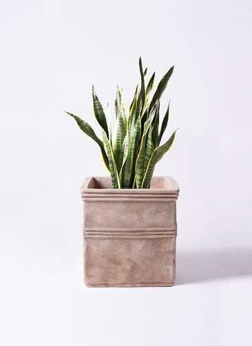 観葉植物 サンスベリア 8号 トラノオ テラアストラ カペラキュビ 赤茶色 付き