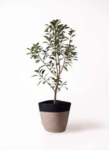 観葉植物 フランスゴムの木 8号 ノーマル リブバスケットNatural and Black 付き