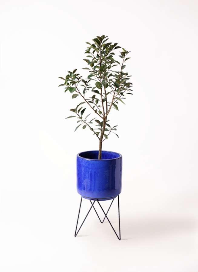 観葉植物 フランスゴムの木 8号 ノーマル ビトロ エンデカ ブルー アイアンポットスタンド ブラック 付き