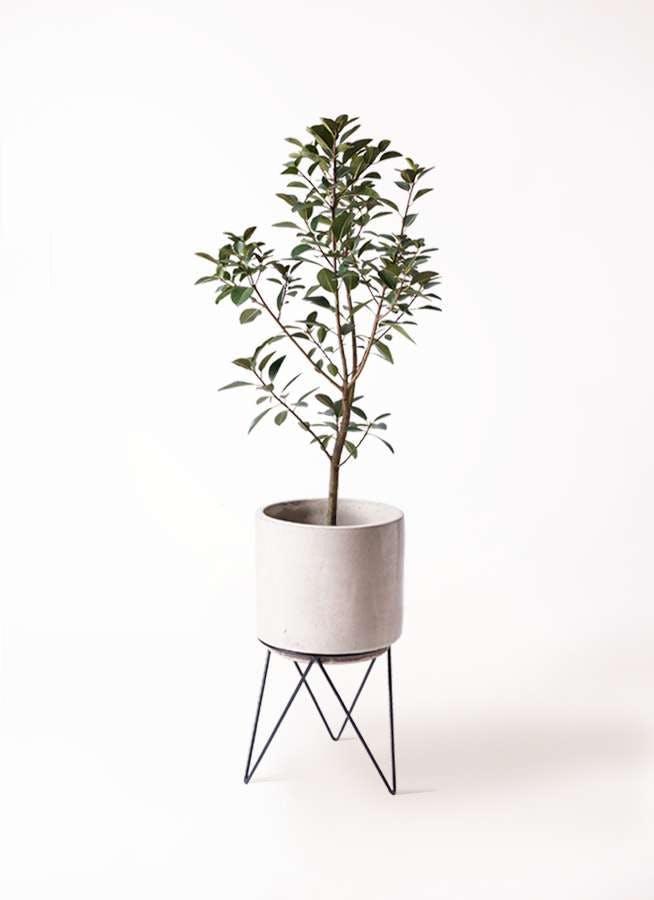 観葉植物 フランスゴムの木 8号 ノーマル ビトロ エンデカ クリーム アイアンポットスタンド ブラック 付き