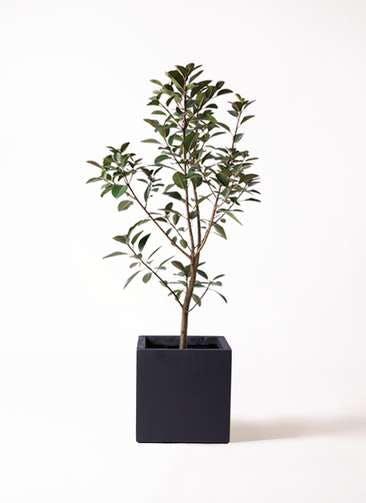 観葉植物 フランスゴムの木 8号 ノーマル ベータ キューブプランター 黒 付き