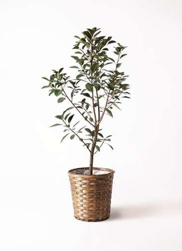 観葉植物 フランスゴムの木 8号 ノーマル 竹バスケット 付き