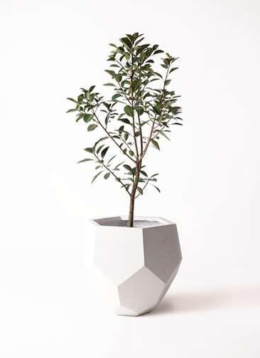 観葉植物 フランスゴムの木 8号 ノーマル ポリゴヘクサ 白 付き