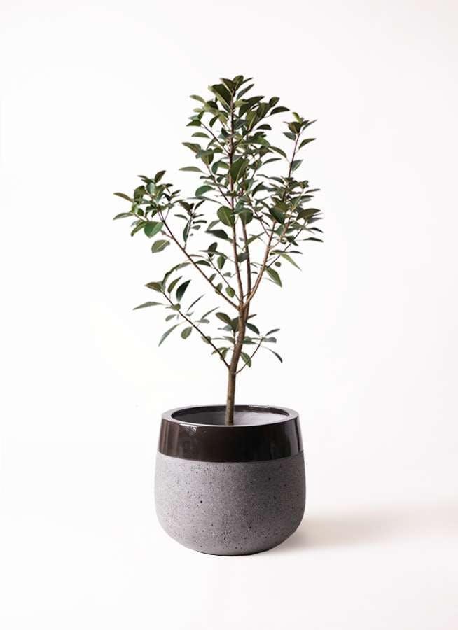 観葉植物 フランスゴムの木 8号 ノーマル ファイバーストーンタウルス 黒 付き