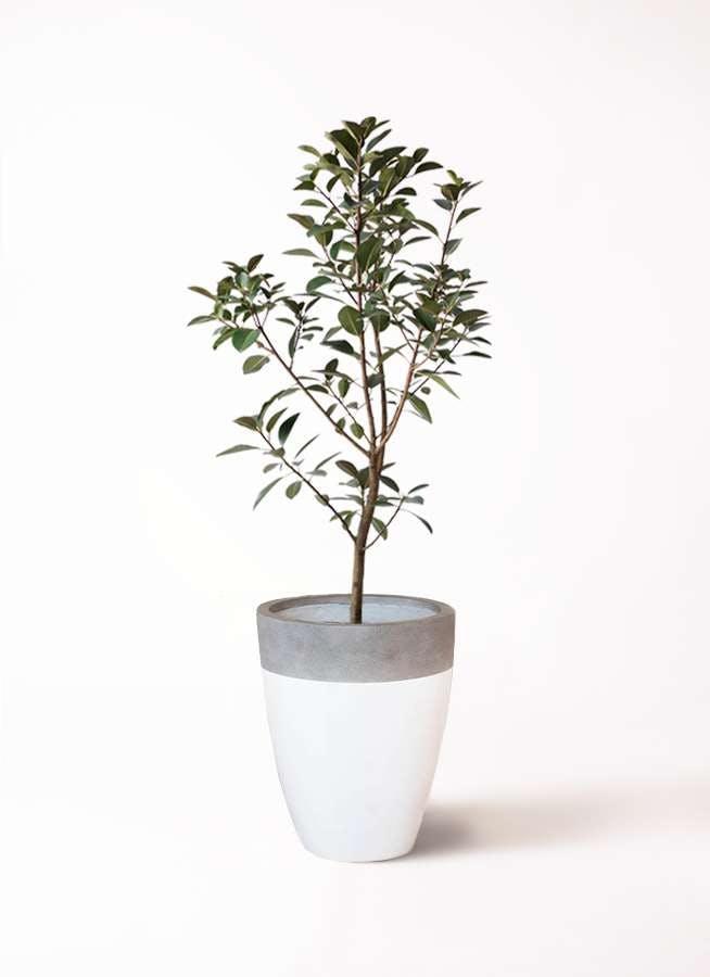 観葉植物 フランスゴムの木 8号 ノーマル ファイバーストーンカプリ 白 付き