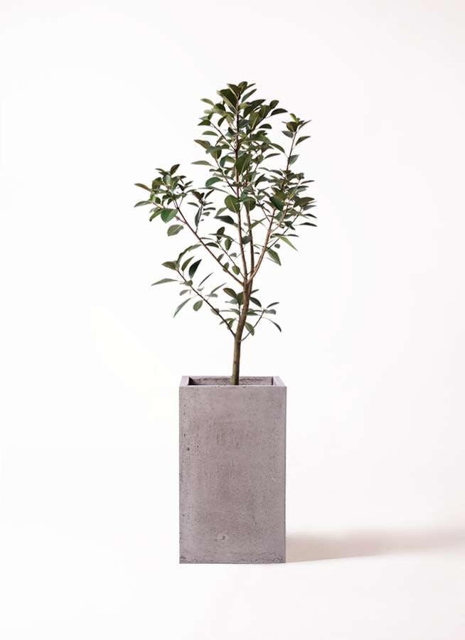 観葉植物 フランスゴムの木 8号 ノーマル セドナロング グレイ 付き