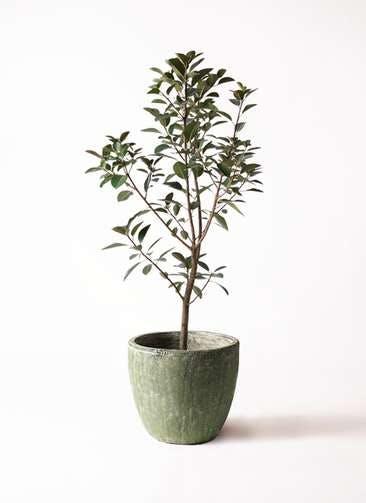 観葉植物 フランスゴムの木 8号 ノーマル アビスソニアミドル 緑 付き