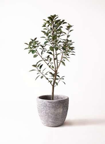 観葉植物 フランスゴムの木 8号 ノーマル アビスソニアミドル 灰 付き