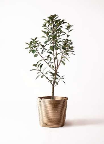 観葉植物 フランスゴムの木 8号 ノーマル リブバスケットNatural 付き