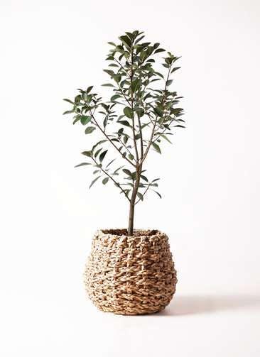 観葉植物 フランスゴムの木 8号 ノーマル ラッシュバスケット Natural 付き