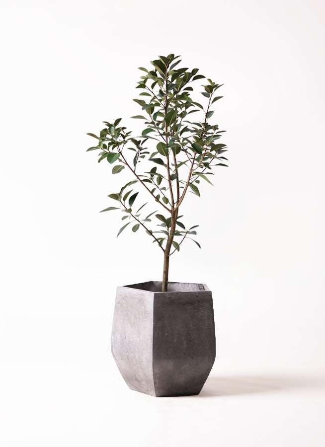 観葉植物 フランスゴムの木 8号 ノーマル ファイバークレイ Gray 付き