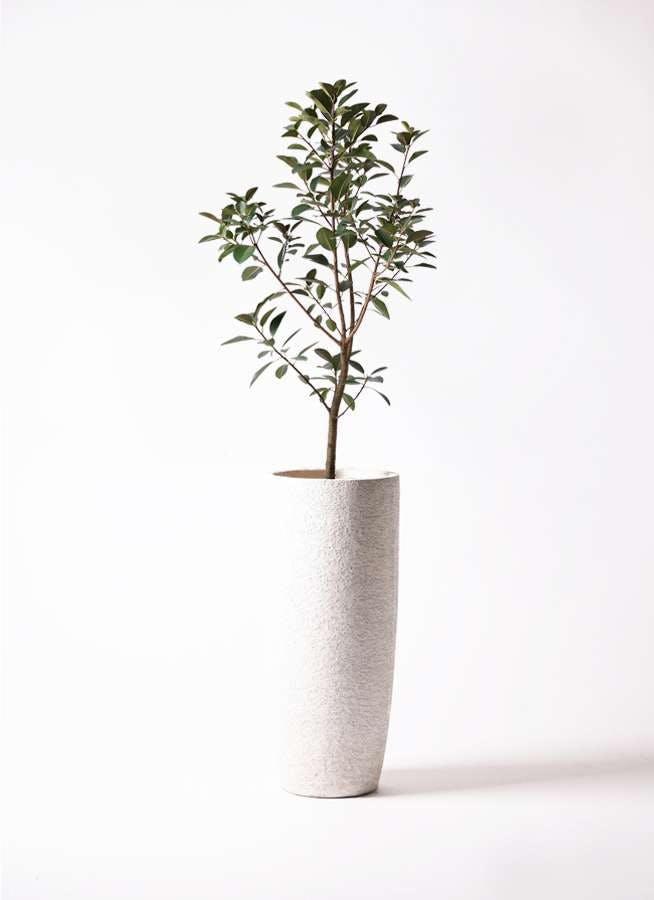 観葉植物 フランスゴムの木 8号 ノーマル エコストーントールタイプ white 付き