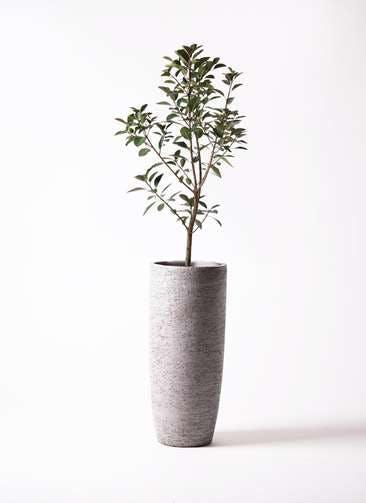 観葉植物 フランスゴムの木 8号 ノーマル エコストーントールタイプ Gray 付き