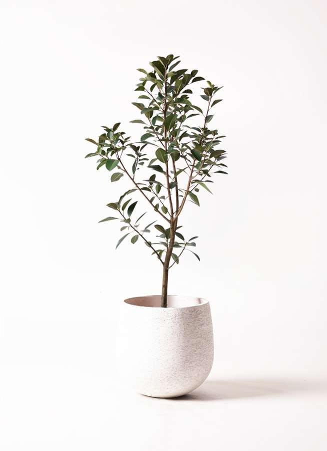 観葉植物 フランスゴムの木 8号 ノーマル エコストーンwhite 付き