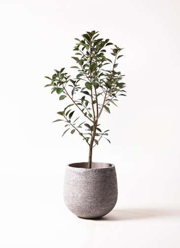 観葉植物 フランスゴムの木 8号 ノーマル エコストーンGray 付き