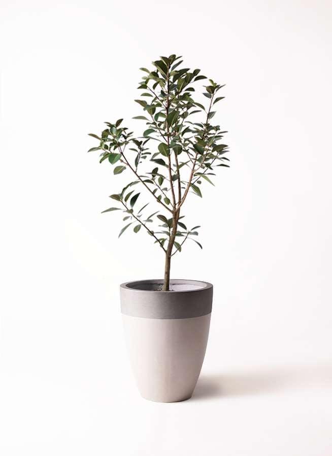 観葉植物 フランスゴムの木 8号 ノーマル ファイバーストーンカプリ サンディホワイト 付き