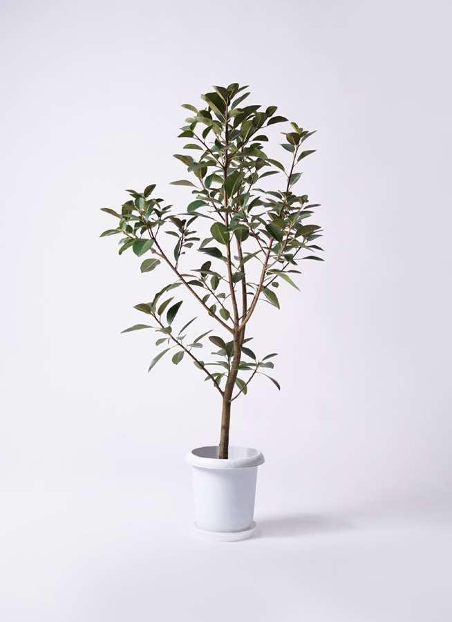 観葉植物 フランスゴムの木 8号 ノーマル プラスチック鉢