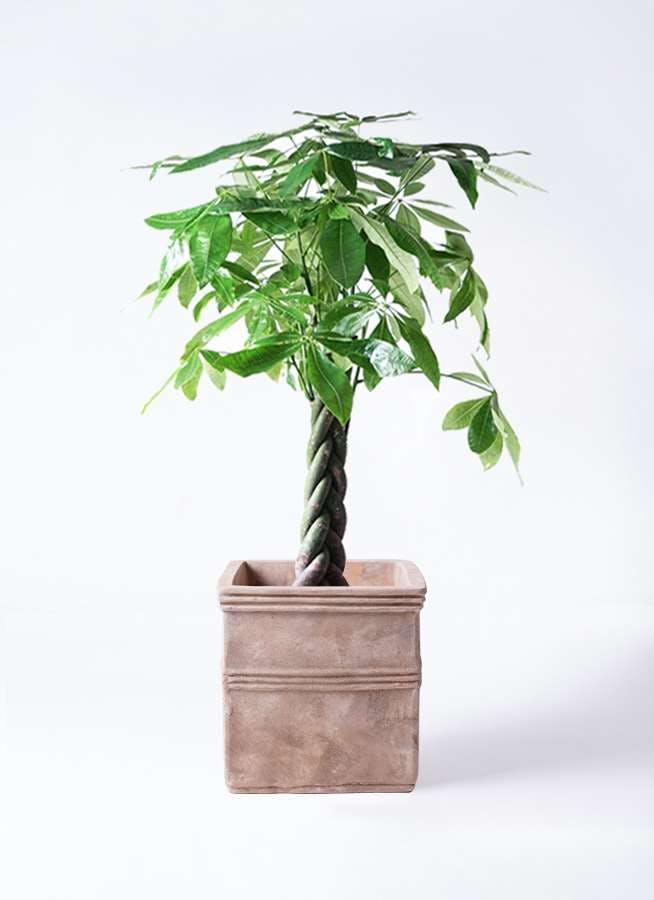 観葉植物 パキラ 8号 ねじり テラアストラ カペラキュビ 赤茶色 付き