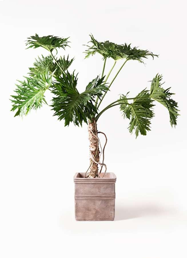 観葉植物 セローム ヒトデカズラ 8号 根あがり テラアストラ カペラキュビ 赤茶色 付き