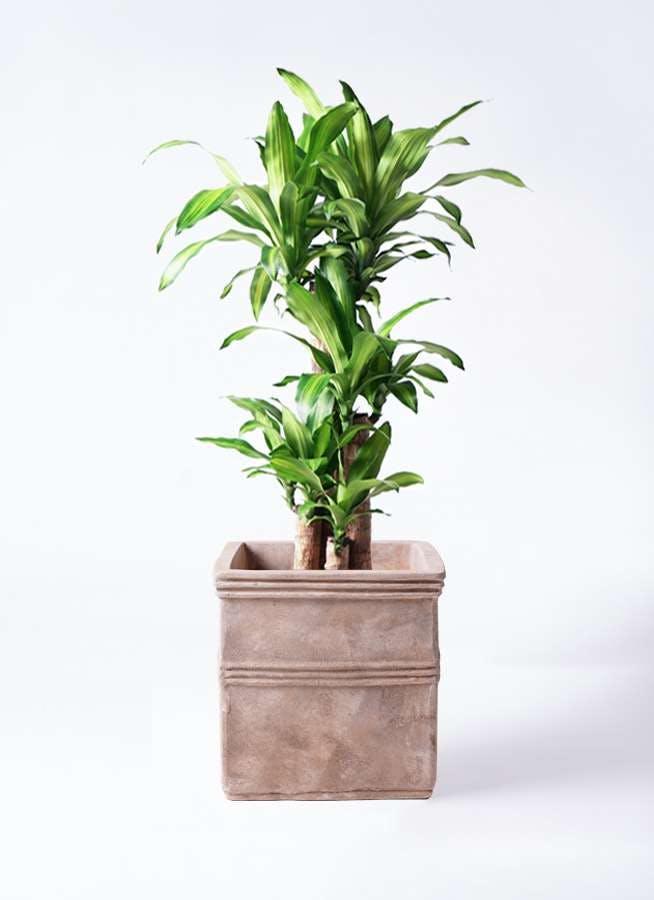 観葉植物 ドラセナ 幸福の木 8号 ノーマル テラアストラ カペラキュビ 赤茶色 付き