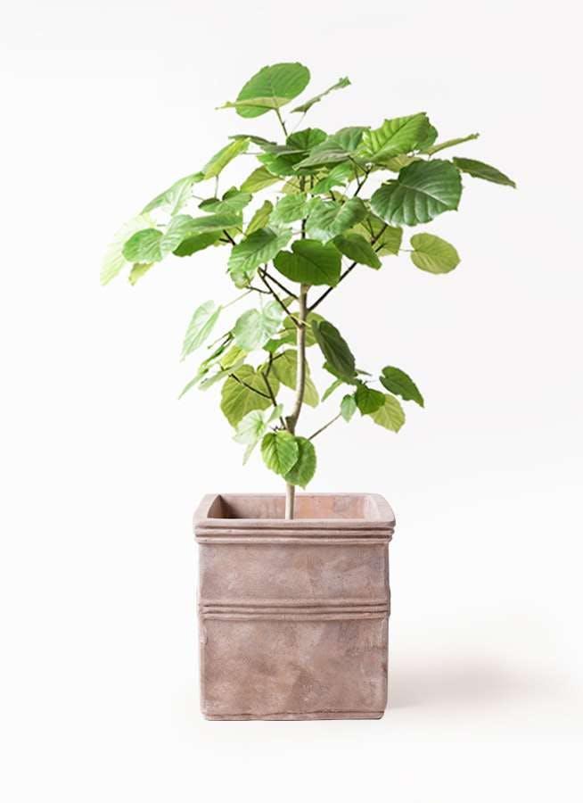 観葉植物 フィカス ウンベラータ 8号 ノーマル テラアストラ カペラキュビ 赤茶色 付き