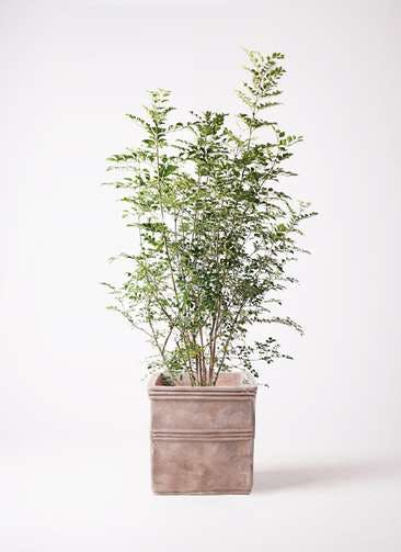観葉植物 シマトネリコ 8号 テラアストラ カペラキュビ 赤茶色 付き