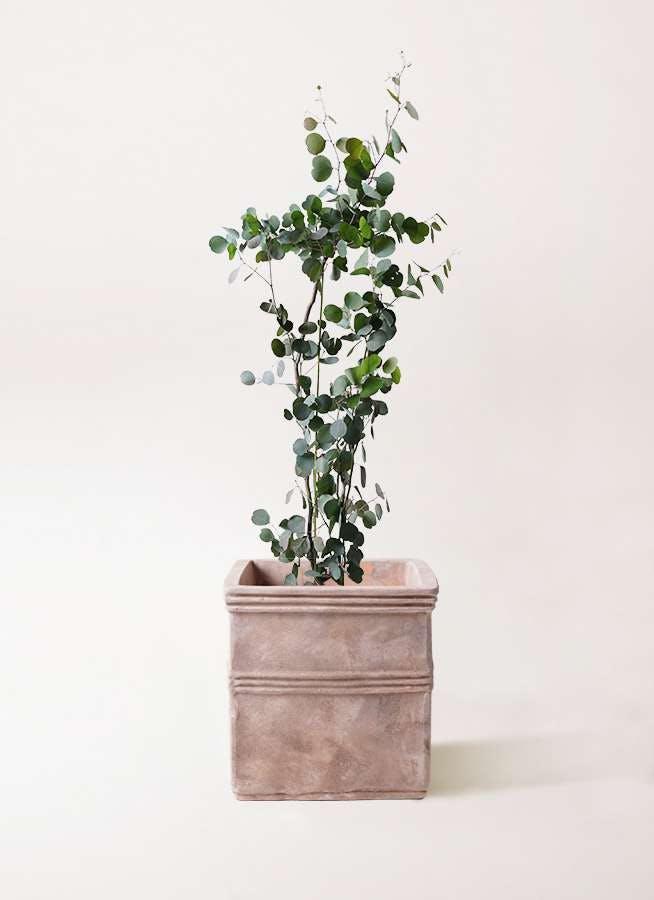 観葉植物 ユーカリ 8号 ポリアンセモス テラアストラ カペラキュビ 赤茶色 付き