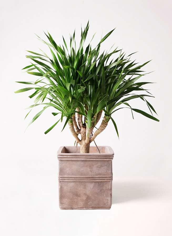 観葉植物 ドラセナ パラオ 8号 テラアストラ カペラキュビ 赤茶色 付き