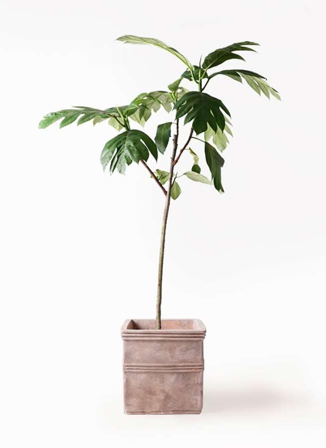 観葉植物 パンノキ 8号 テラアストラ カペラキュビ 赤茶色 付き