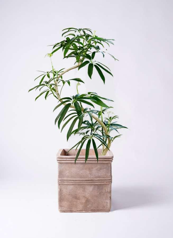 観葉植物 シェフレラ アンガスティフォリア 8号 曲り テラアストラ カペラキュビ 赤茶色 付き