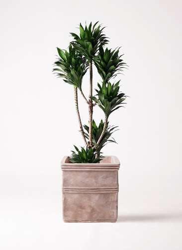 観葉植物 ドラセナ コンパクター 8号 テラアストラ カペラキュビ 赤茶色 付き