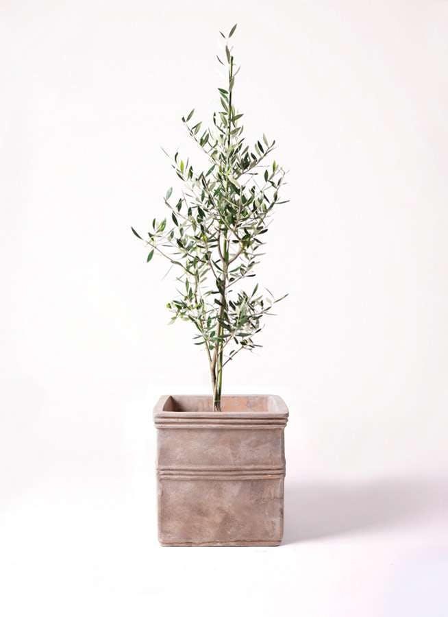 観葉植物 オリーブの木 8号 コロネイキ テラアストラ カペラキュビ 赤茶色 付き