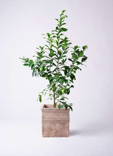 レモンの木 8号 リスボン テラアストラ カペラキュビ 赤茶色 付き