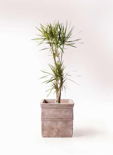 観葉植物 ドラセナ コンシンネ 8号 テラアストラ カペラキュビ 赤茶色 付き