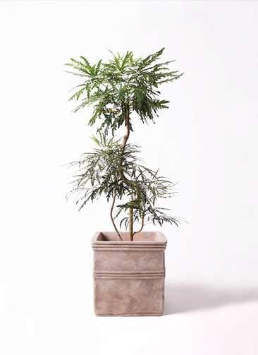 観葉植物 グリーンアラレア 8号 曲り テラアストラ カペラキュビ 赤茶色 付き