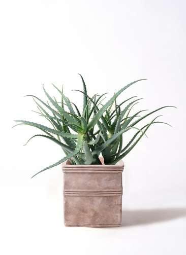観葉植物 キダチアロエ 8号テラアストラ カペラキュビ 赤茶色 付き