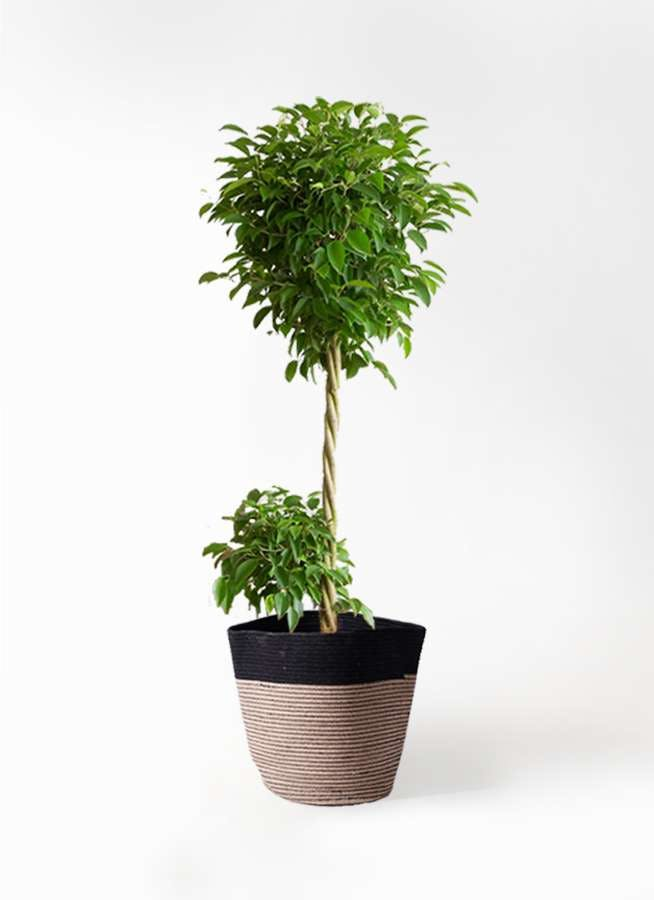 観葉植物 フィカス ベンジャミン 10号 玉造り リブバスケットNatural and Black 付き