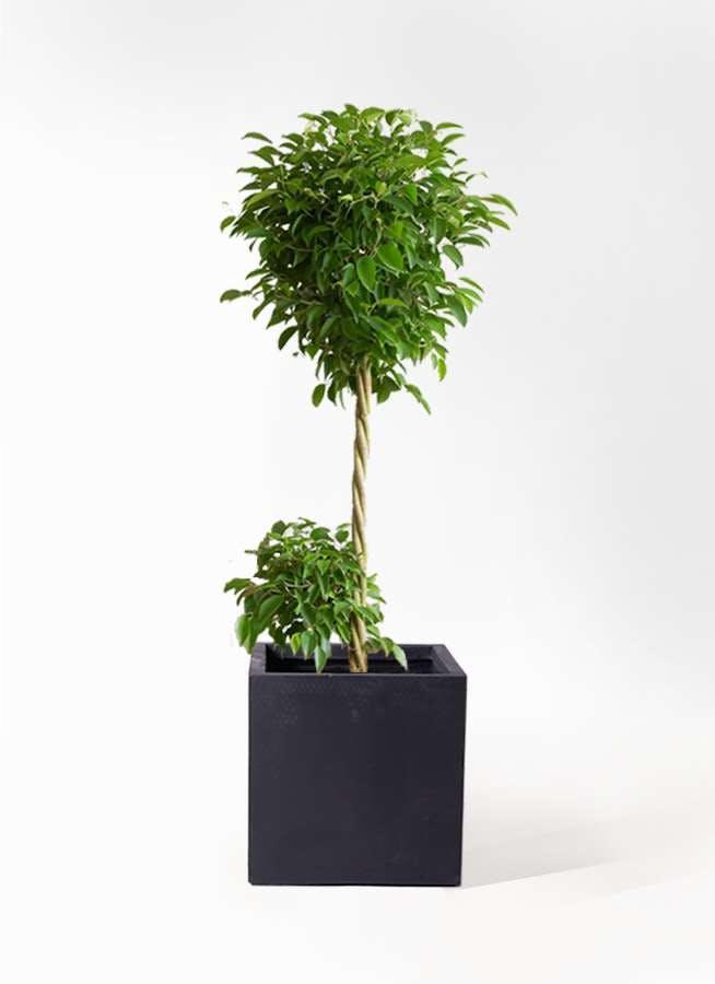 観葉植物 フィカス ベンジャミン 10号 玉造り ベータ キューブプランター 黒 付き