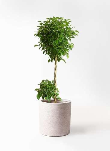 観葉植物 フィカス ベンジャミン 10号 玉造り サンディ シリンダー 白 付き