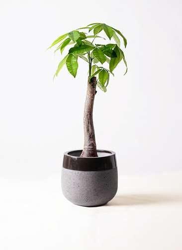 観葉植物 パキラ 8号 朴 ファイバーストーンタウルス 黒 付き